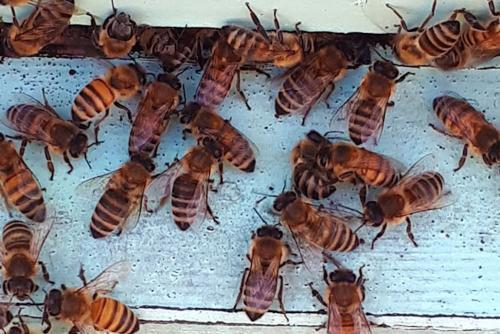 Pčelinji otrov (apitoksin)
