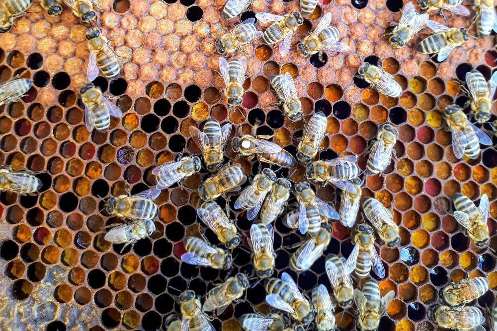 Pčele sa maticom